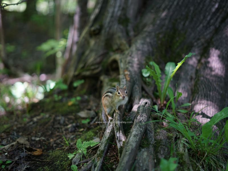 Eastern Ontario Roadtrip - Chipmunks in Ottawa